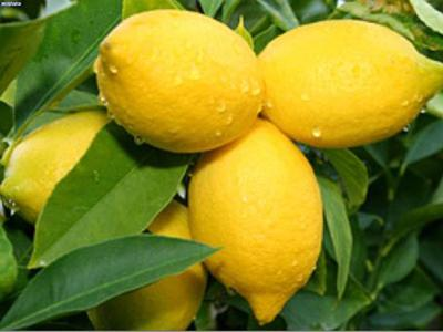 لیمو ترش جهرم